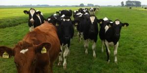 Kudde zwart/witte koeien met bruine koe voorop.