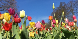 Gekleurde tulpen met blauwe lucht.